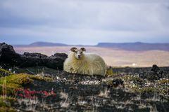 Lonely sheep on iceland royalty free stock photography
