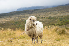 Lonely sheep at mountain. Tied sheep on a rural farm in Cundinamarca, Colombia Stock Photography