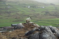 Lonely sheep on a rock. With the irish landscape in the backgroud royalty free stock images