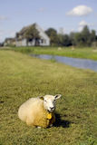 A lonely sheep sitting in a field Royalty Free Stock Image