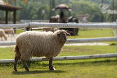 Lonely sheep standing near the fence of farm Royalty Free Stock Photo