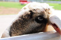 Lonely Sheep Royalty Free Stock Photography