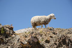 Lonely Sheep on the top of the mountain Stock Image