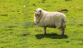 Lonely Sheep Stock Photos