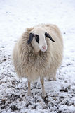 Lonely sheep in winter with thick winter coat Royalty Free Stock Photos