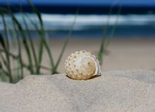 Lonely shell. A beautiful orange and white shell on a sand dune at the beach with the ocean and blue sky in the back ground stock images