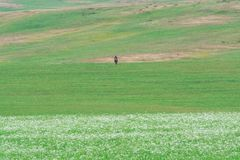 Lonely shepherd on a horse. Myriads of white daisies. Green Hill. Summer season. stock photo