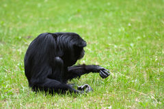 Lonely Siamang gibbon in the grass Stock Image