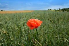 Poppy flower on the field stock photos