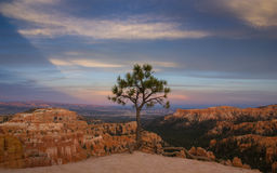 Lonely. Single tree looking over the Bryce Canyon Royalty Free Stock Photography