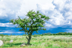 Lonely single tree on the meadow Stock Images