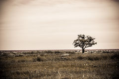 Lonely single tree in sepia Stock Image