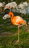 Lonely sleeping red flamingo. And white flamingos Stock Photos