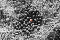 Lonely snail among deer droppings in black and white. Lonely pink snail finds itself exploring among deer droppings in black and white stock photos