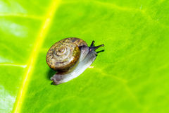 Lonely Snail on green leaf with holes, eaten by pests Stock Images