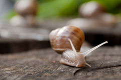Lonely snail on the wood Stock Image