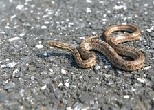 A lonely snake. The snake is sliding on the road Stock Photography