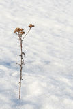 Lonely on the snow. A dry yarrow on the snow Stock Photography