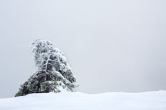 Lonely snow-covered fur-tree against the gray sky Royalty Free Stock Photo