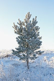 Lonely snow-covered pine Royalty Free Stock Photo