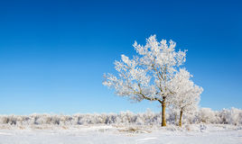 Lonely snow-covered trees. Clear winter morning Stock Images