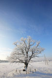 Lonely snowbound oak against clear blue sky Royalty Free Stock Image