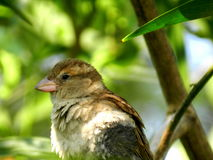 Lonely Sparrow bird Stock Images