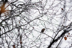 Lonely sparrow. On empty tree branches in late autumn royalty free stock images