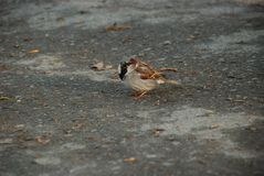 Lonely sparrow on the ground in the city royalty free stock photography