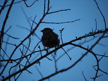 Lonely sparrow Stock Photos