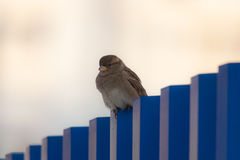 Lonely sparrow Royalty Free Stock Photo