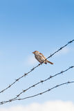 Lonely sparrow standing on barbed wire Stock Photography