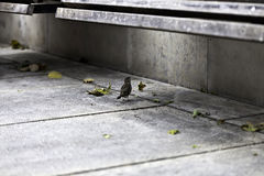 Lonely sparrow under urban park bench Stock Photos