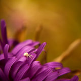 Lonely spider. Close-up shot of the little spider standing alone on the flowers petal. Artistic photograph Stock Image