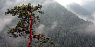 Lonely spruce. Right after the rain in a foggy forest Royalty Free Stock Image