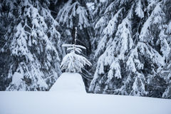 Lonely spruce covered with snow Stock Image