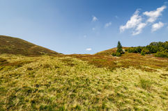 Lonely spruce tree on a grassy meadow of the mountain ridge Stock Images
