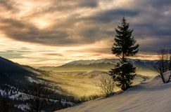 Lonely spruce tree on hillside at sunrise. Gorgeous winter countryside scenery view from the hill to sunny valley royalty free stock photography