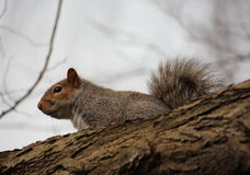 A lonely squirrel feeds itself while watching tourists from the top of an ancient tree Royalty Free Stock Image
