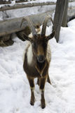 Lonely standing brown goat in snow Royalty Free Stock Photography