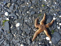 Lonely starfish on a beach Stock Photos