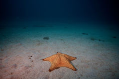Lonely starfish on sandy seafloor Stock Image
