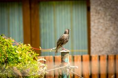 A lonely starling in the home garden, close up shot stock photos