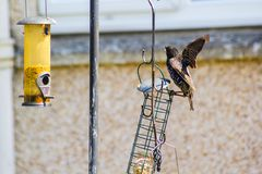 A lonely starling in the home garden, close up shot stock image