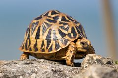 Lonely start tortoise walking on the rock Royalty Free Stock Photos