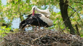 Lonely Stork Cleaning Itself In The Nest At Wind. In the frame there is one lonely stork standing on the wind in the nest and cleaning its feather. The shot was stock video footage