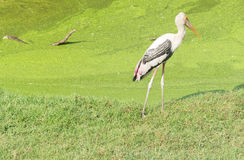 Lonely stork standing. Stock Photography