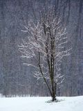 Lonely stranded small tree, ice covered in winter Stock Image