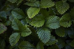 Lonely strawberry Fragaria green wet plant leaves in dark Royalty Free Stock Photography
