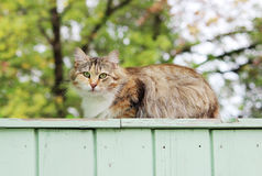 lonely stray cat tortoiseshell tricolor color is sitting on the porch of a wooden house. stock image